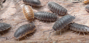 Details about woodlice: interesting facts about their lives and photos
