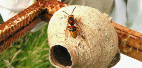 The life of the hornet's uterus - the most important female in the nest