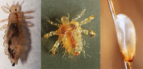 What the lice look like: familiar with the features of the appearance and biology of parasites