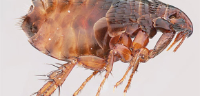 How many fleas live without an animal and can they live on a person?