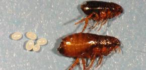 Human fleas