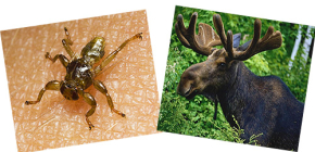 What are elk fleas and can they bite a person