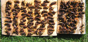 How to effectively deal with hornets and bring them to the cottage or apiary