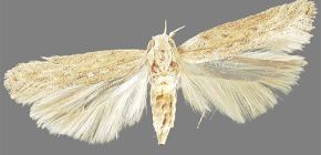 About potato moth and methods of dealing with it