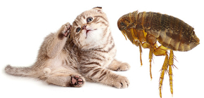 Cat Fleas: How They Look and Are Dangerous to Man