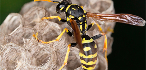 How can I safely remove wasps from the house, as well as from the dacha