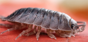 Where do woodlice come from in houses and apartments and what is the reason for their appearance