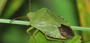 What does a green bug look like and is it worth being afraid of