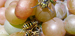 How to protect the grape harvest from wasps and protect it for the entire period of ripening