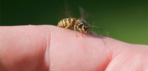 Wasp venom: is it good for the human body and how does it work