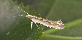 Fighting cabbage moth