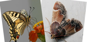 Why does moth have no proboscis - is it not a butterfly?