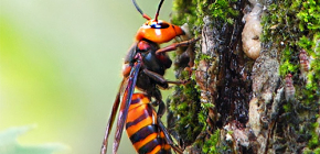 Interesting features of the life of a huge Japanese hornet and the danger of its bites