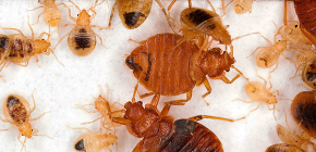 Proven methods for the destruction of bedbugs, which showed high efficiency