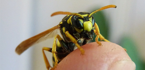 The consequences of wasp bites: what can be dangerous attacks of these insects?