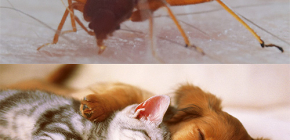 Can bedbugs bite domestic animals (cats, dogs, chickens)?