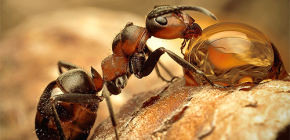 Photos of various species of ants and interesting features of their life