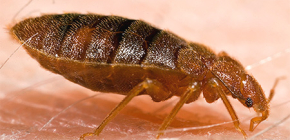 How does the bed bug bite?