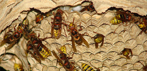 Hornets' nests (photo): about their device and how to remove them correctly and safely