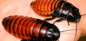 About the life of Madagascar hissing cockroaches and their maintenance at home