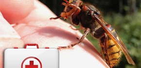 What to do when a hornet bites and how it can be dangerous to health