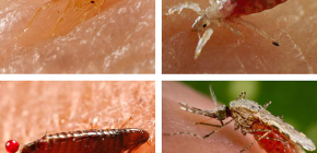 What kind of blood-sucking insects can be found in bed or couch