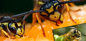 What do wasps usually eat and do they eat meat?