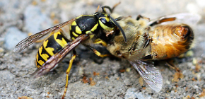 Methods of dealing with wasps in the apiary: how to save the bees from attacks