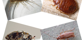 What kind of domestic insects can be found in human housing: parasites and pests
