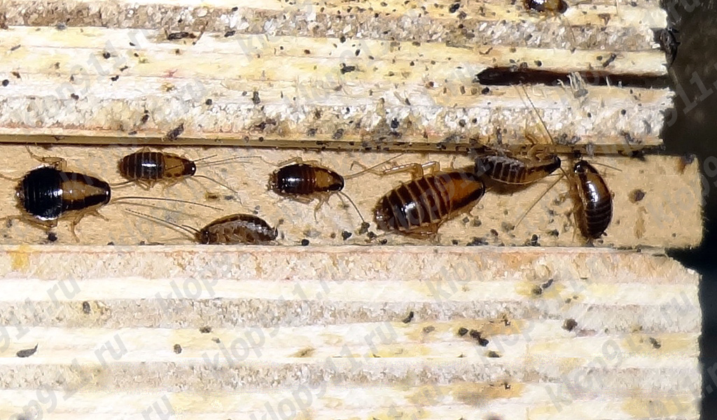 The accumulation of nymphs red cockroach in furniture