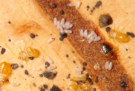 Trứng rệp trông như thế nào và chúng đẻ chúng ở đâu (ảnh)