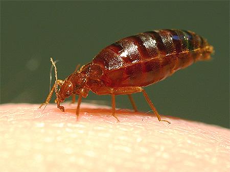 Photos of a bed bug