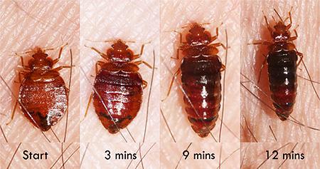 Bedbug before and after meals