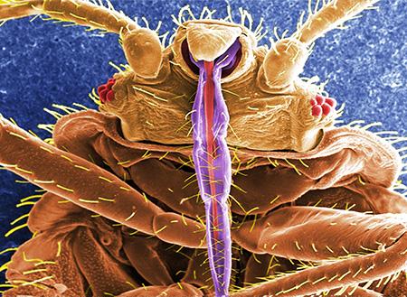 Piercing-sucking bug