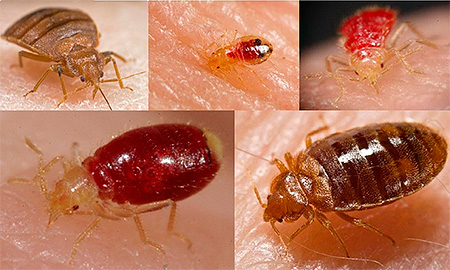 Bedbugs are not carriers of dangerous diseases.