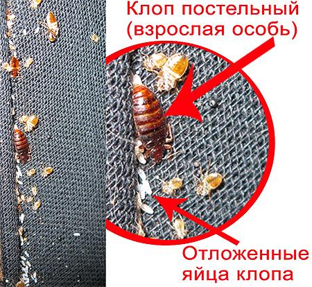 Adulți bug-uri interne și ouăle lor