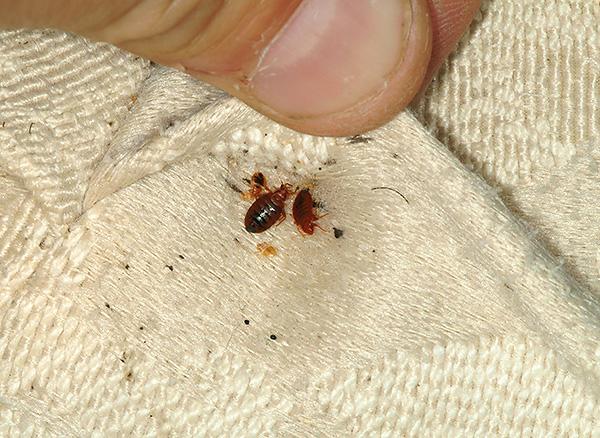 Με μια σοβαρή μόλυνση του bedbugs διαμέρισμα για να απαλλαγούμε από αυτά με τη βοήθεια των λαϊκών θεραπειών, κατά κανόνα, αποτυγχάνει.