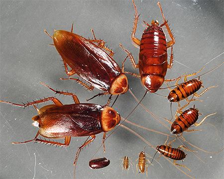 번식 바퀴벌레