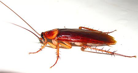 레드 바퀴벌레