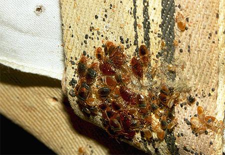 În bolile de pat și în larvele lor