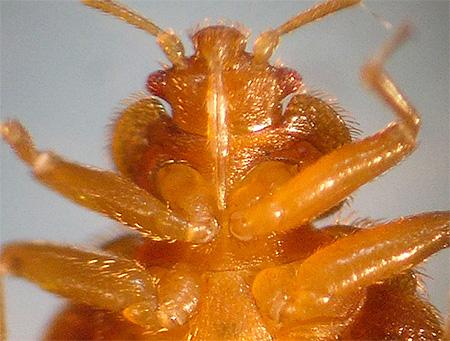 Bedbug: المنظر السفلي
