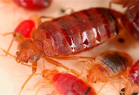 حشرات الدم