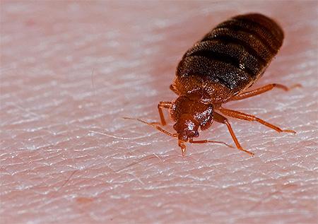 Bedbug: صورة مقربة