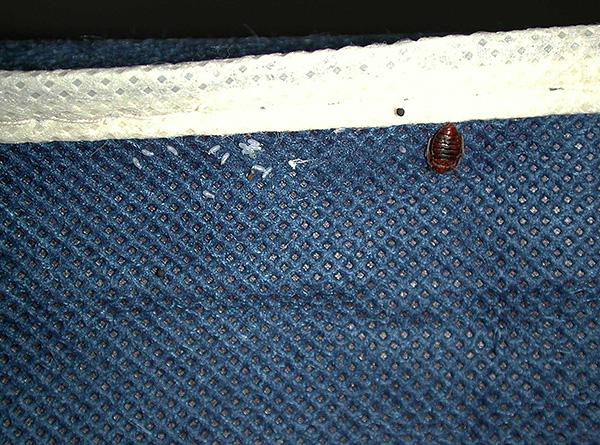 Paraziți pot fi aduși în casă pe haine din camera contaminată.
