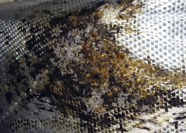 În cuibul puteți găsi zeci și chiar sute de indivizi de paraziți, precum și multe ouă.