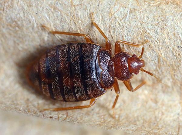 Fotografia unui adult adult bug bug.