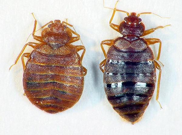 În stânga - un bug flămând, pe dreapta - beat de sânge