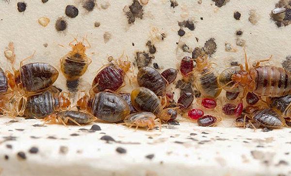 În cuibul de paraziți pot fi găsiți ca hrăniți bine și de mult timp nu hrăniți cu indivizi.