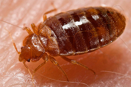 Consider the most effective ways to destroy bed bugs in the apartment.