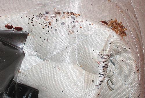 버그가 소파에서 발견되면 외부에서 얼거나 뜨거운 증기로 처리 할 수 있습니다.